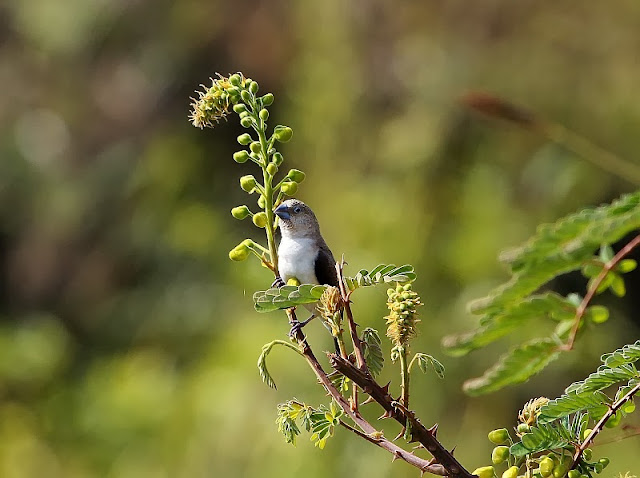 African Silverbill East Africa