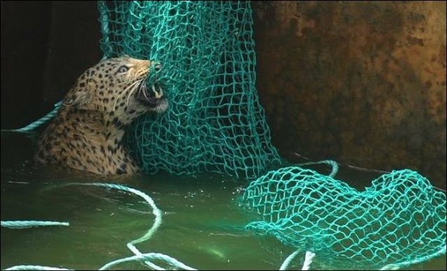 A leopard rescued from water reservoir in India using net, leopard rescued, saving leopard