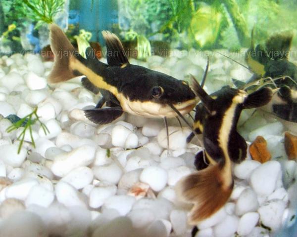 Aquarium Catfish for Sale  AquariumFishnet