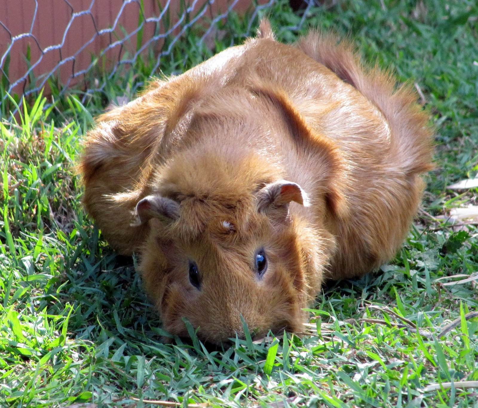All Things Guinea Pig: FAQs