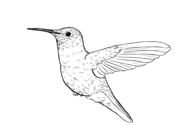 Line Drawing Hummingbird : Humming bird free coloring pages