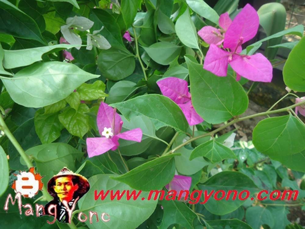 Bunga Bougenville / Bunga kertas warna UNGU. Saya tanam di pojokan taman mungil saya.