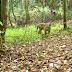 التقاط صورا لنمور نادرة في غابة اندونيسية