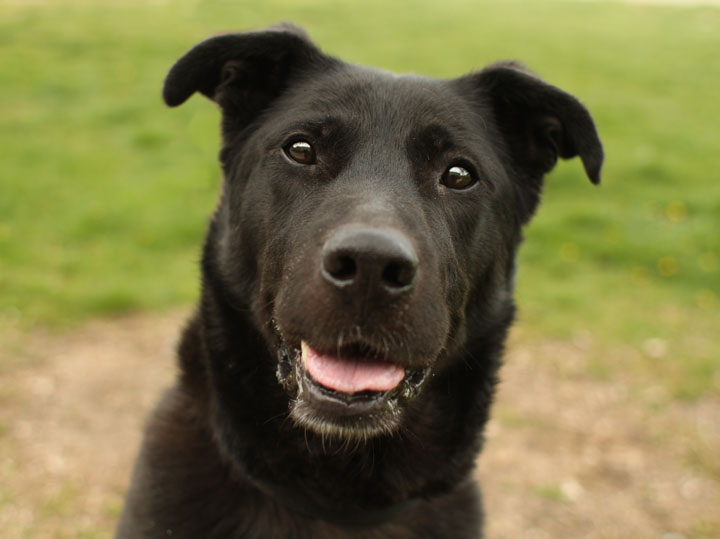 Care Bear - Labrador Retriever German Shepherd mix