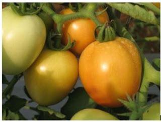 Tomat Tora, Varietas Baru Inovasi IPB