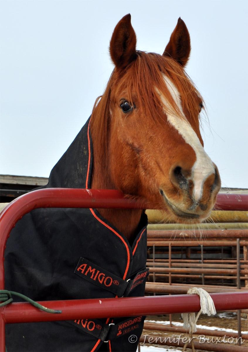 Horse  Wikipedia