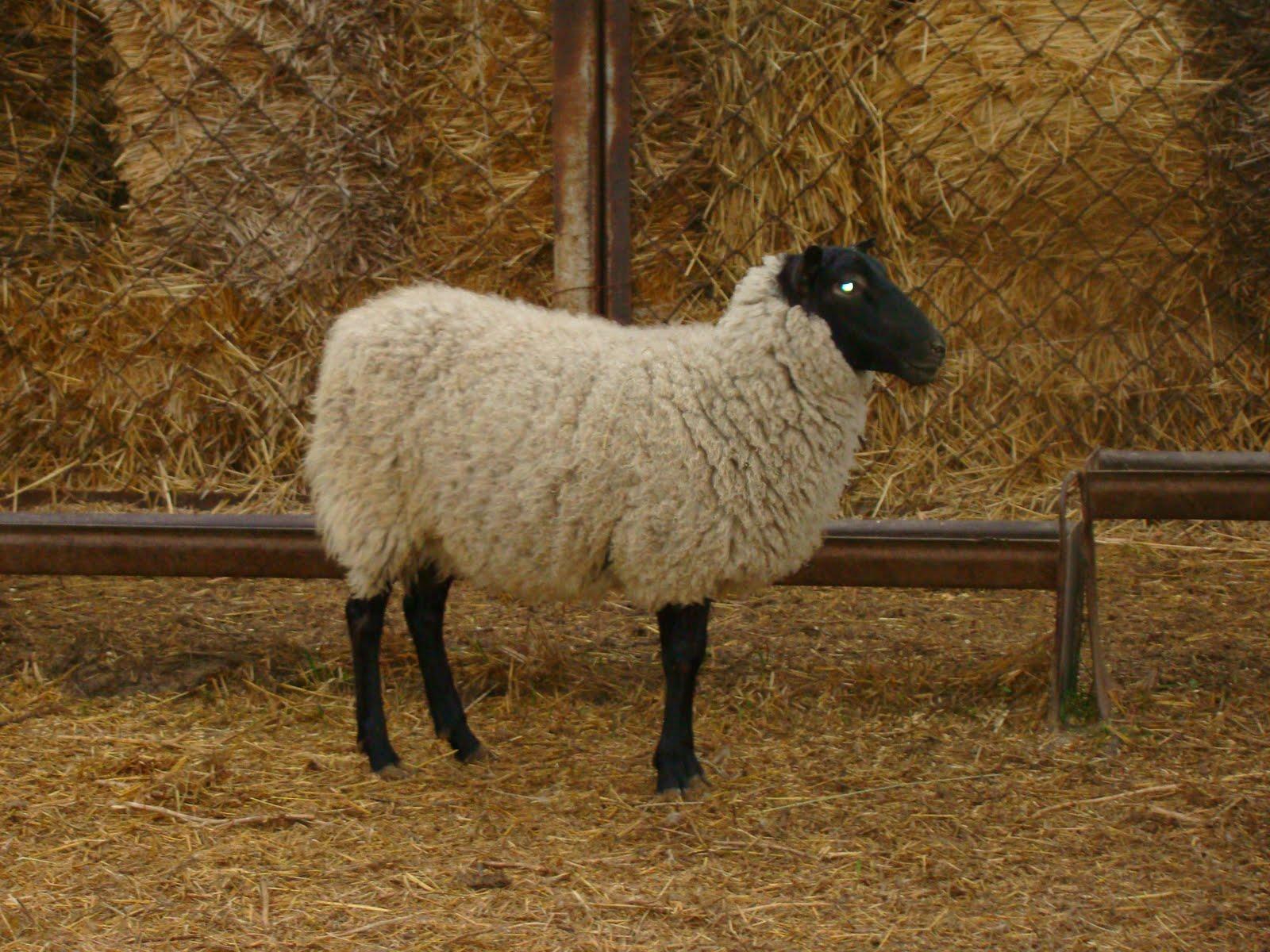 Продажа племенного молодняка овец романовской породы с новогодними скидками с 17 ноября по 25 декабря ярки элита и 1 класс от 11 до (при покупке от 20 голов скидка 5%, при.
