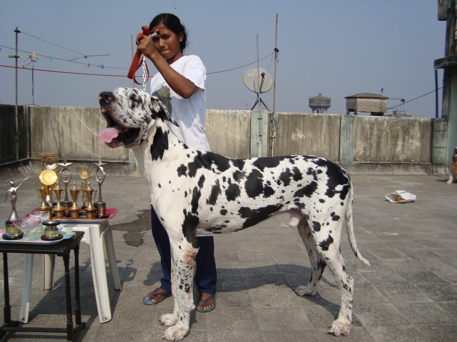My personal experience with great dane zidane the harlequin great dane is also known as german mastiff or danish hound is a breed of domestic dog canis lupus familiaris known for its giant size nvjuhfo Choice Image