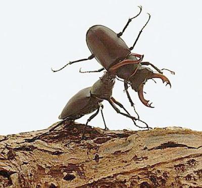 Gambar kumbang badak