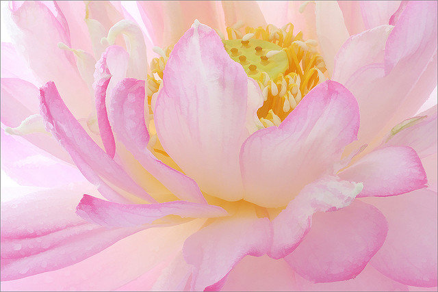Close-up of Pink Peony