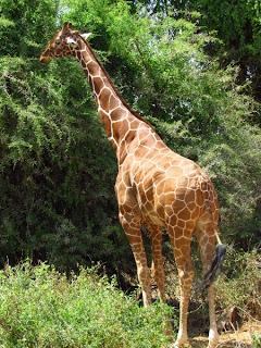 girafas, animals africa, animales africa, Kenya