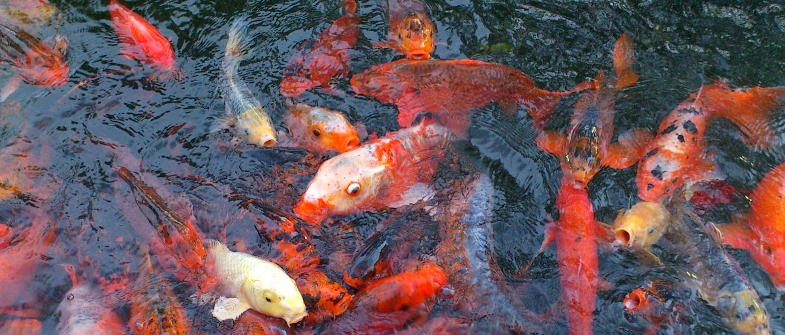 fish pictures. hungry fish