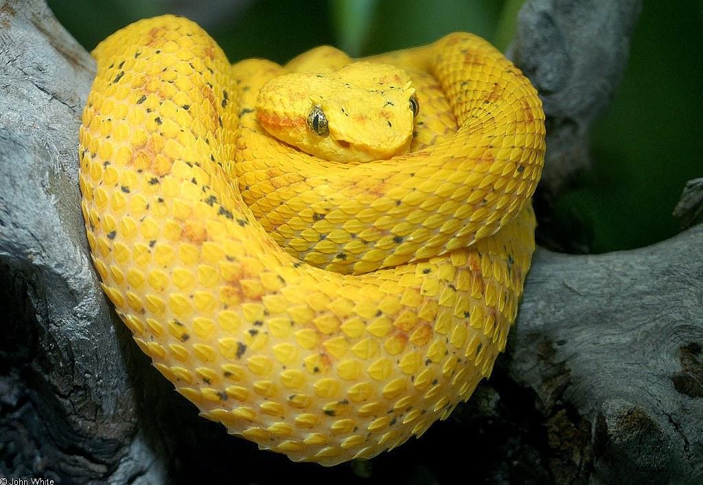 eyelash viper snake
