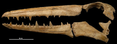 esqueleto de Pelagornis