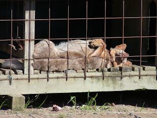 Dog Kennel Hot Wire