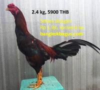 Harga dan gambar ayam birma dan harga ayam bangkok