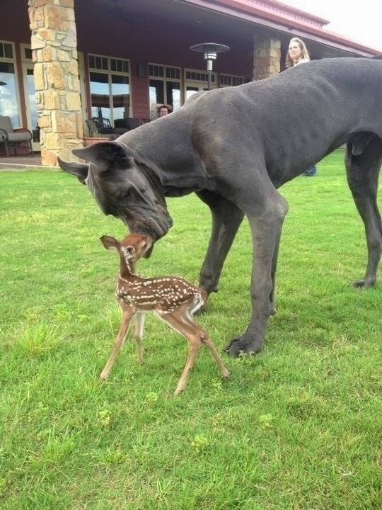 Huge black dog with a cute baby buck