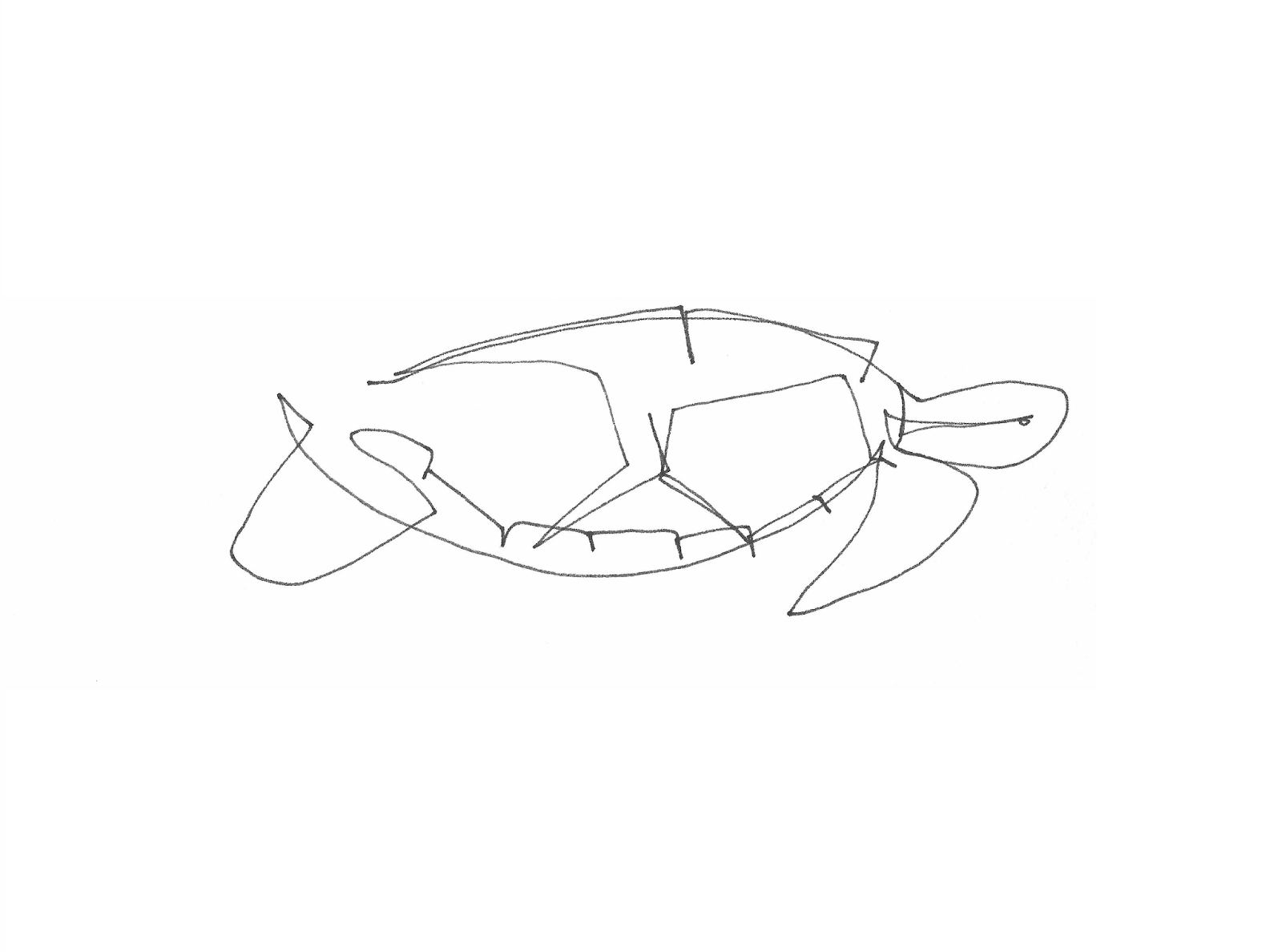 Line Drawing Turtle : Single line drawings turtles for tim