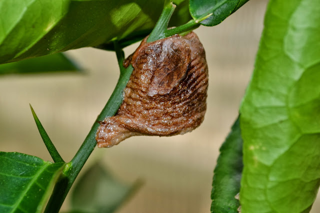 praying mantis egg case, http://growingdays.blogspot.com