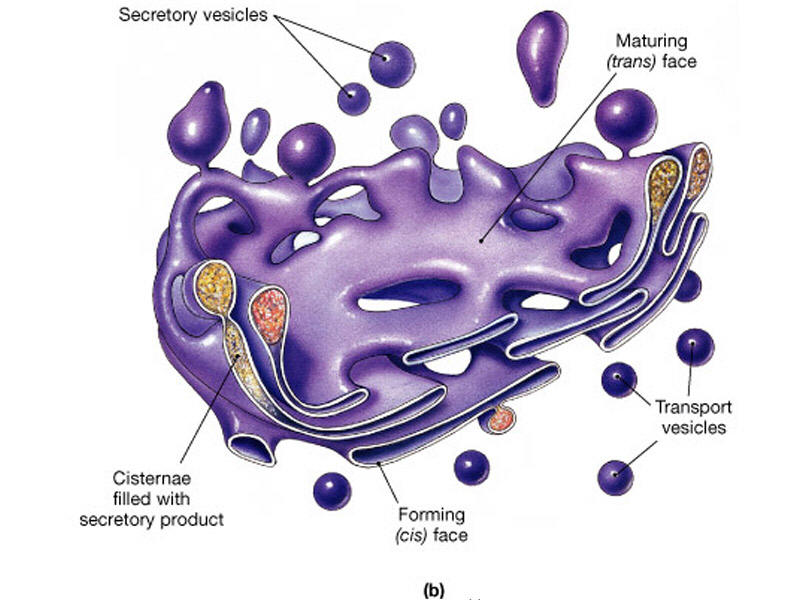 animal cell golgi bodies - photo #13