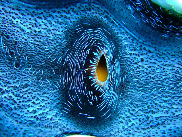 Great Barrier Reef Giant Clam