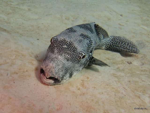 Рыба двузуб