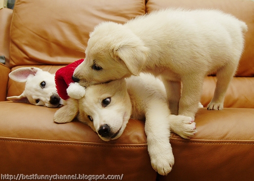 Christmas puppies.