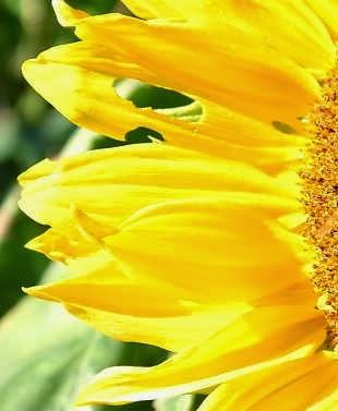 Struktur dan perkembangan tumbuhan 1 angyospermae dicotyledonae pada bunga matahari ccuart Images