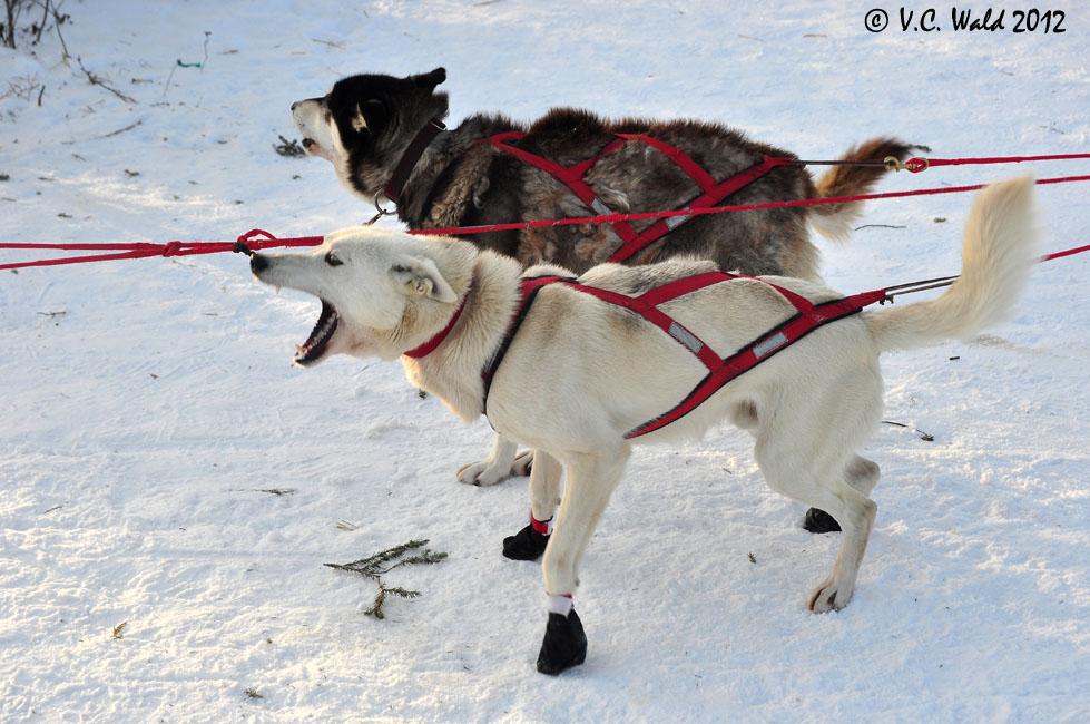 Sled Dog Harness Pattern