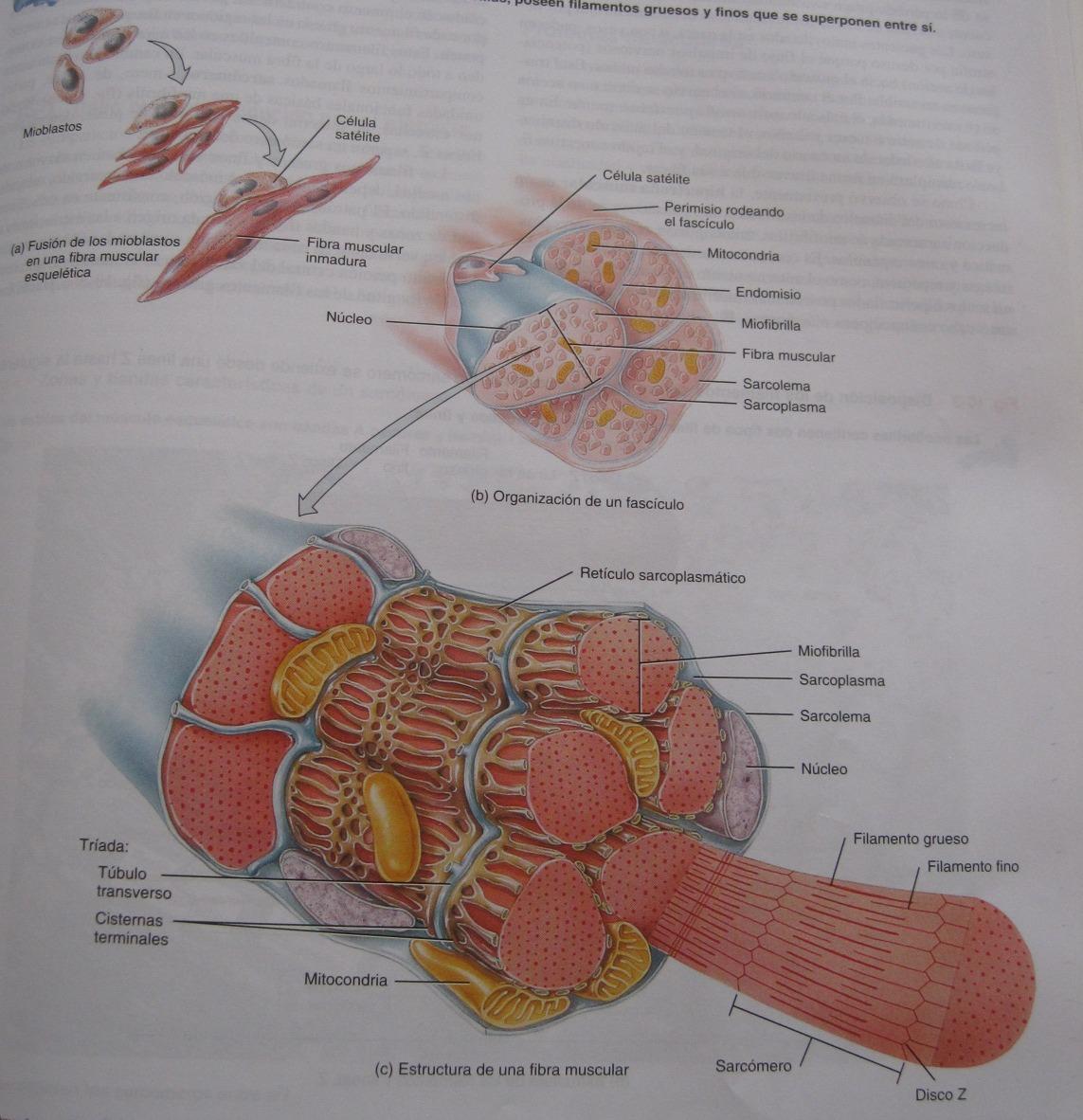 Bailaoras°°°: Sistema muscular
