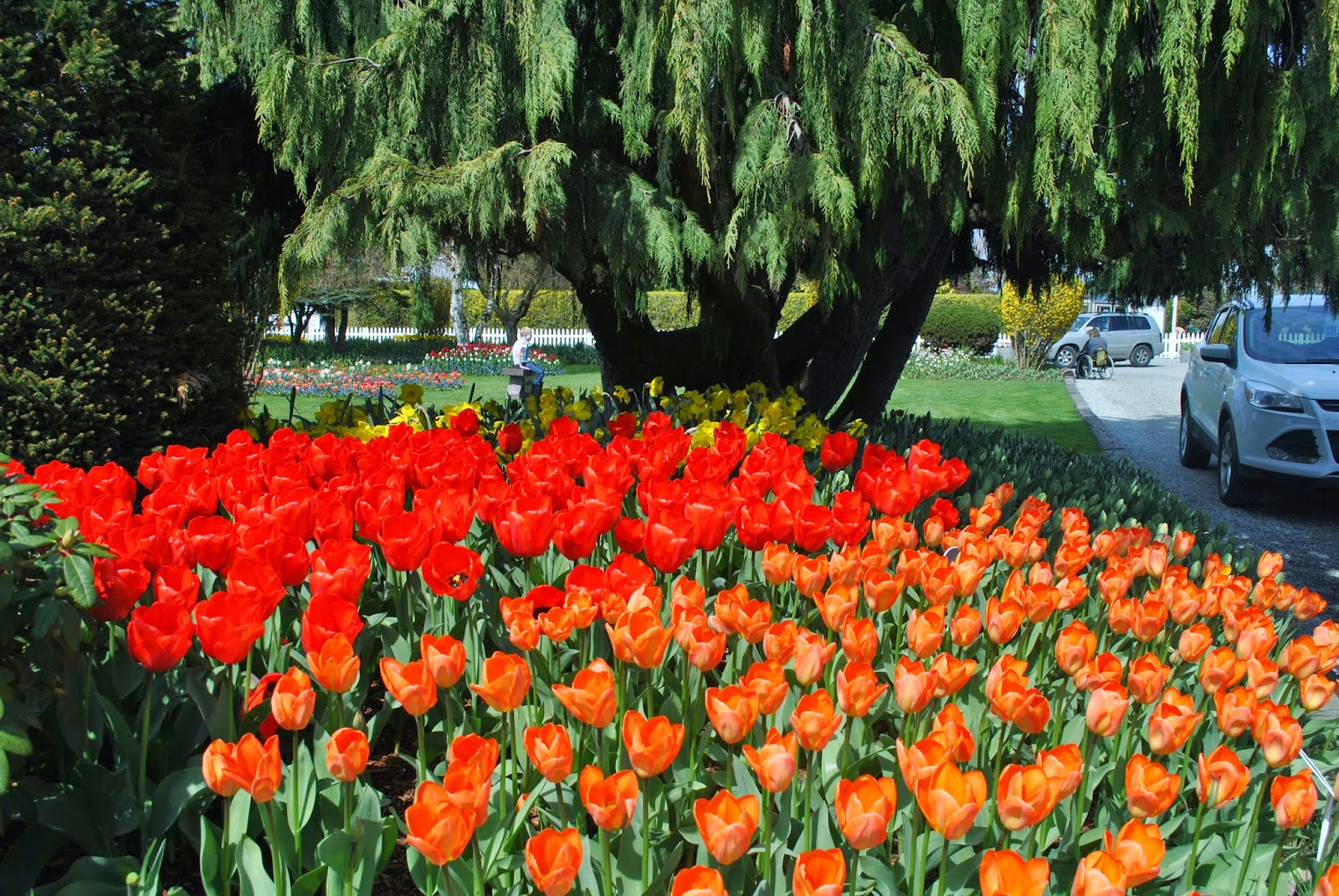Tulip festival, tulip flowers, girl in a flower garden, Beautiful flowers and beautiful girl,beautiful tulips,  Places to visit near Seattle,