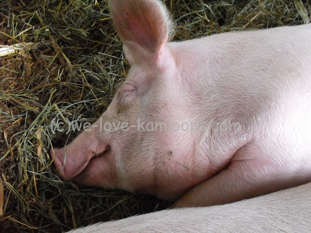 It looks like the pig is smiling, he is sleeping on the hay.