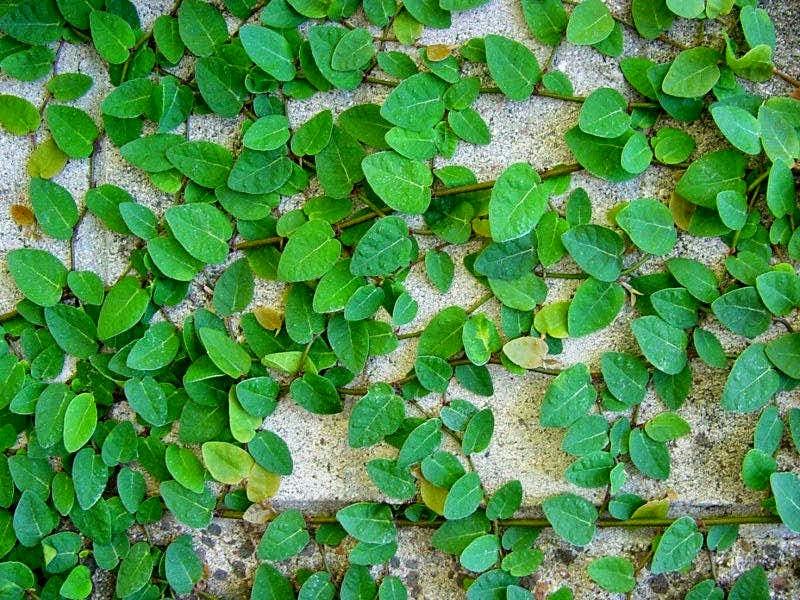 Jual pohon dolar (tanaman rambat vertikal) | solusi pertamanan | suplier tanaman dan rumput