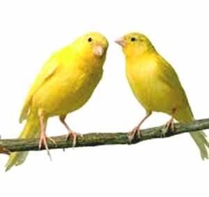 Tips Memilih Burung Kenari Yang Bagus/ Berkualitas