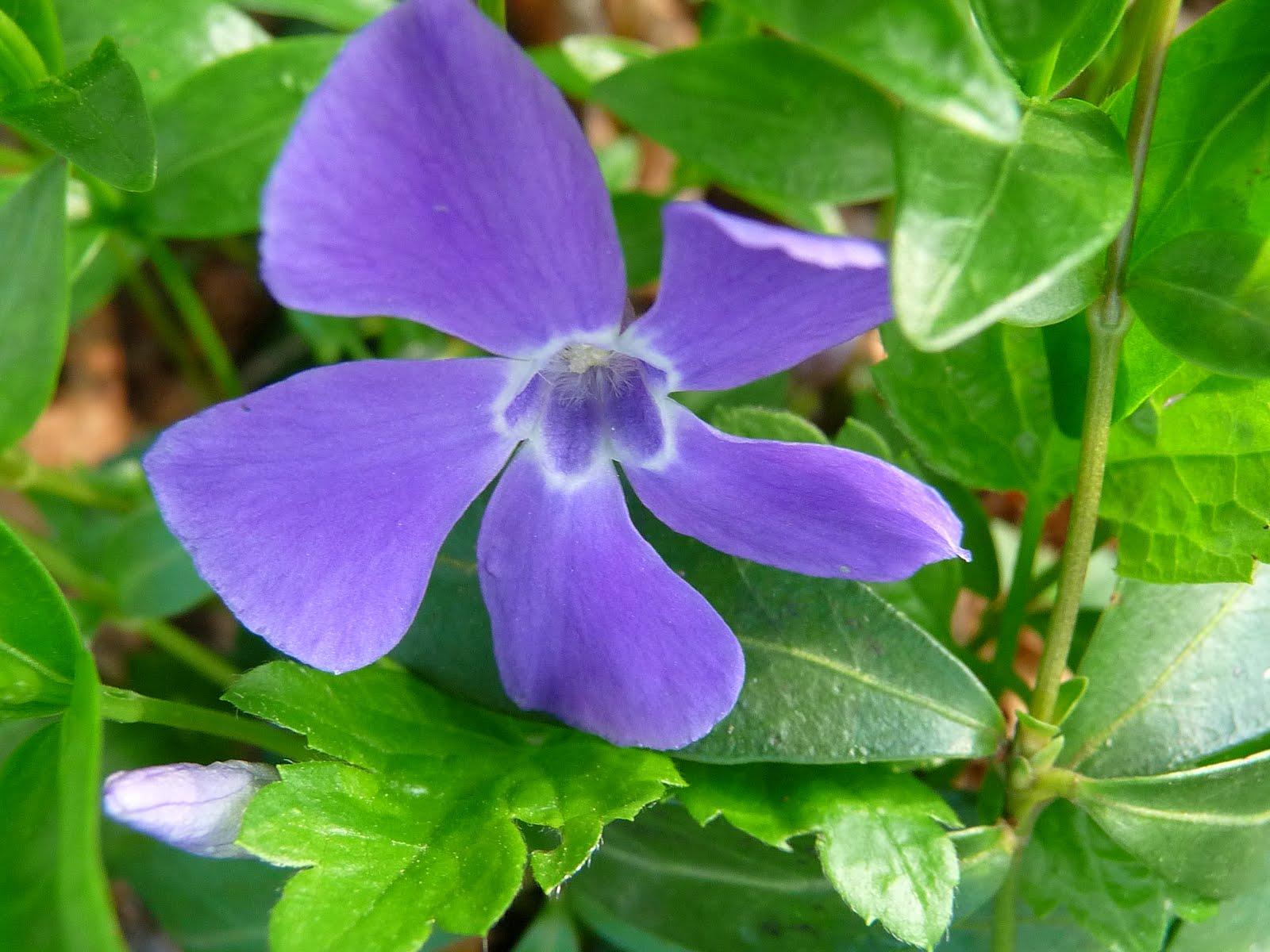 I colori della natura pervinca paperblog for Pervinca pianta