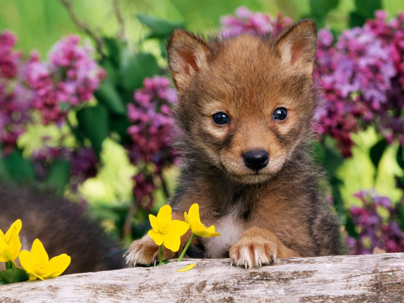 Coyote Pups Pictures