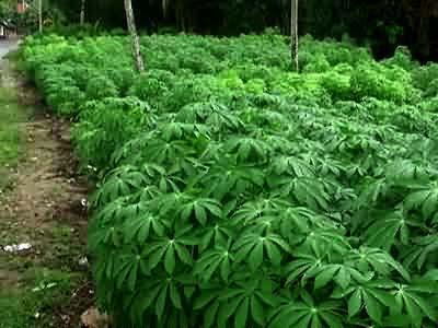 Cassava Leaves Field