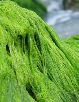 водоросль спирулина
