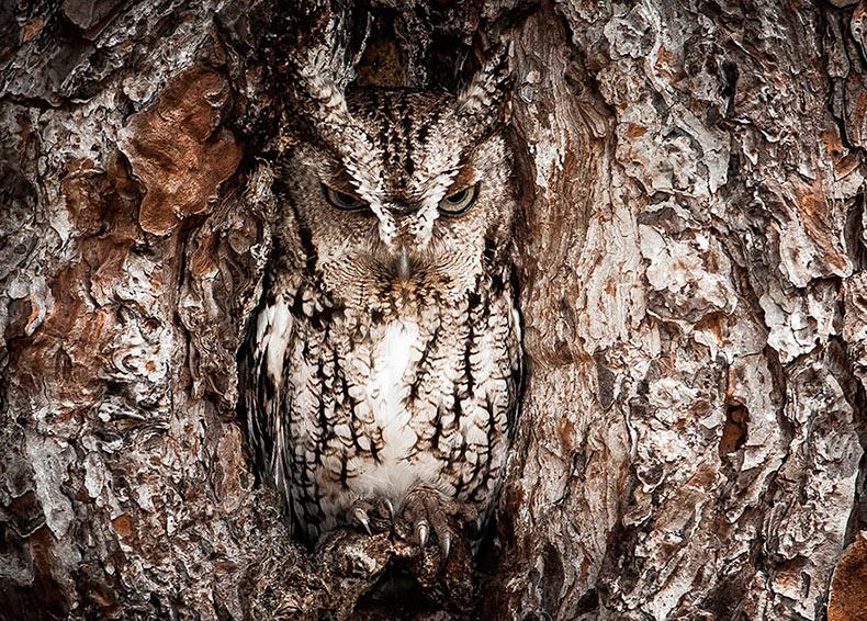 15 Ejemplos impresionantes de búhos perfectamente camuflados