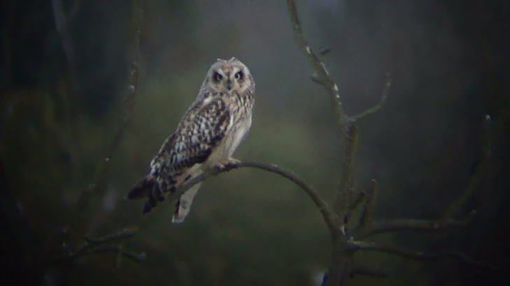 short eared owl - Thorpe Marshes