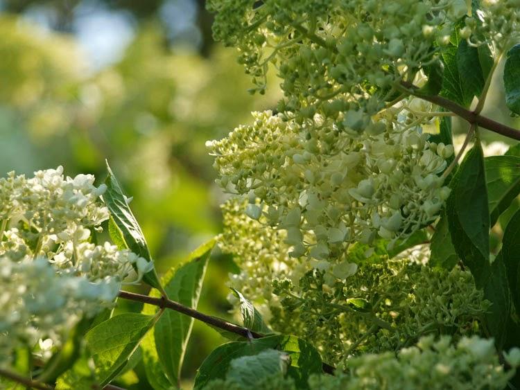 Hvide blomstrende buske i haven
