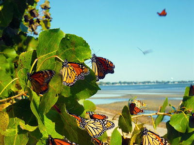 Monarch Butterfly Migration, Lake Erie