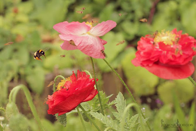 poppies are a great nectar bar
