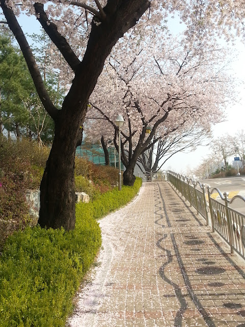 The cherry blossom road