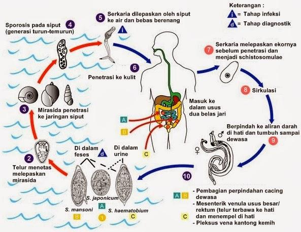 Siklus hidup Schistosoma