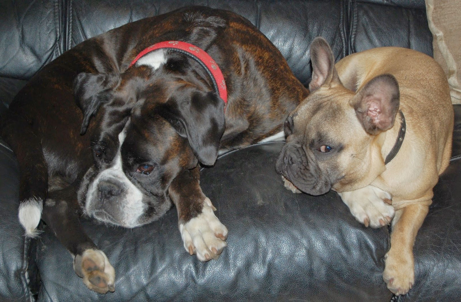 two dogs (a boxer and a french bulldog) lying side my side on the sofa