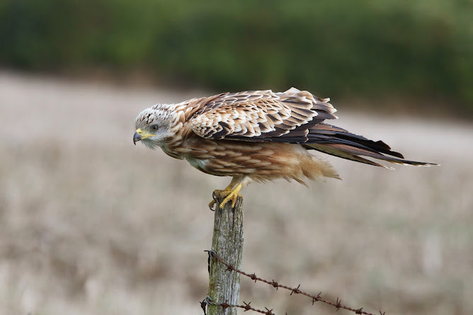 Red Kite/Milvus milvus