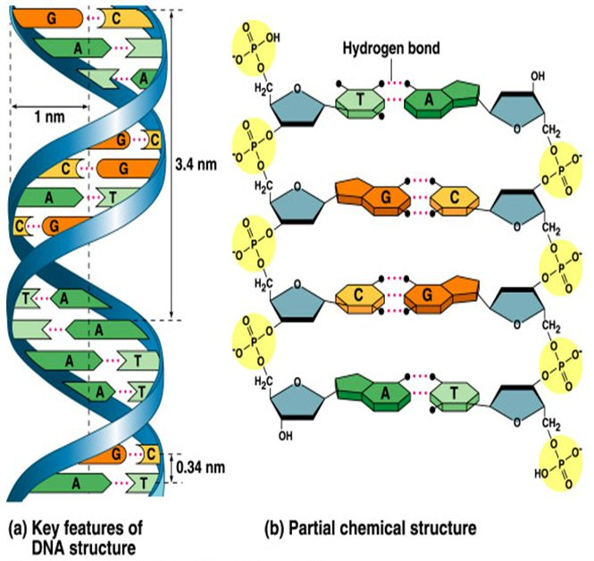 Biology Diagrams Images Pictures Of Human Anatomy And Physiology  Dna Deoxy Ribose Nucleic Acid