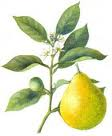 Bergamota sau portocalul amărui