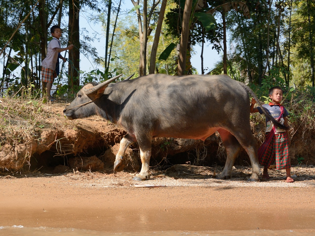 Water buffalo tended by young boys on Indein River in Myanmar